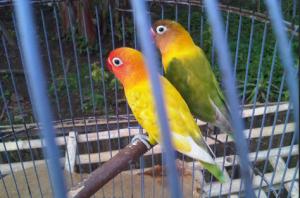 Kesalahan dalam perawatan love bird yang harus diketahui