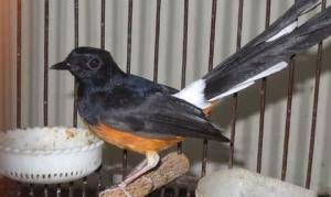 Daftar Pakan Burung Murai Batu Paling Recommended