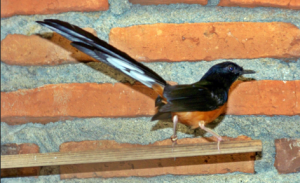 penyebab burung murai batu serak