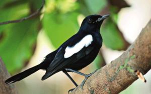 cara mengatasi burung kacer stress