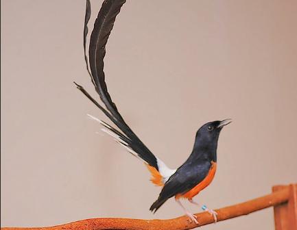 Tips Perawatan Burung Murai Batu Agar Sering Bunyi Raja Kicau