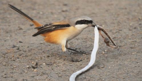 Beberapa Pakan Burung Cendet Paling Recommended Raja Kicau