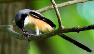 Cara Membuat Racikan Pakan Burung Cendet Yang Mudah