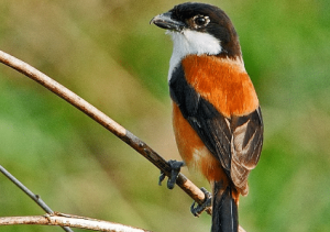 Daftar Solusi Masalah Burung Cendet Cacingan