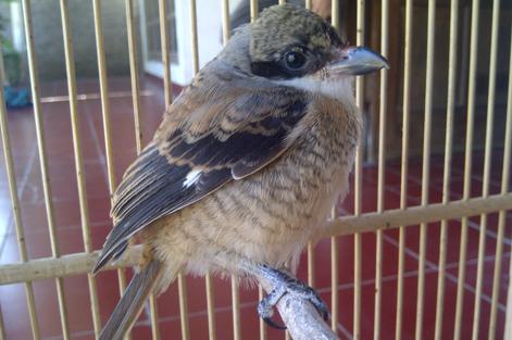 List Beberapa Penyakit Burung Cendet Yang Sering Datang Raja Kicau