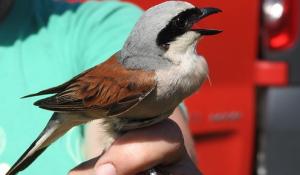 Penyebab Burung Cendet Stress Dan Cara Mengatasinya
