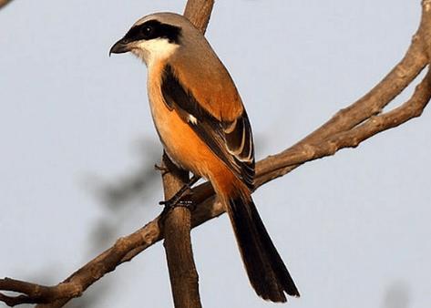 Daftar Cara Merawat Burung Cendet Ini Penting Di Terapkan Raja Kicau