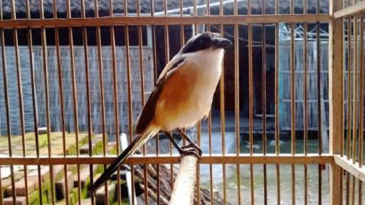 Obat Alami Burung Cendet Sakit Cacingan Yang Ampuh Raja Kicau