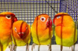 tips perawatan burung lovebird anakan