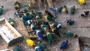 Keunggulan Bisnis Lovebird