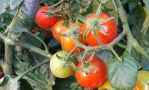 manfaat tomat untuk burung