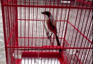 Cara Jitu mengatasi burung cendet manja