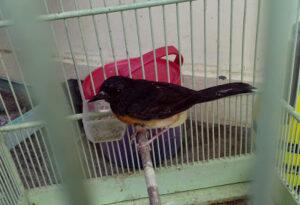 Cara Melatih Burung Bakalan Makan Voer