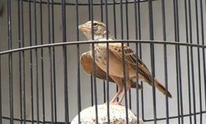 Cara Membuat Burung Branjangan gacor