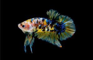 Beberapa Penyakit Ikan Cupang