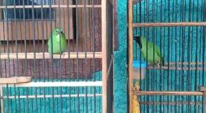 Budidaya Burung Cucak Ijo dengan mudah