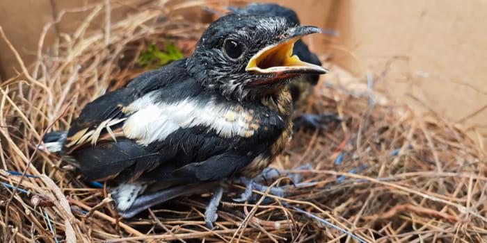Gambar Burung Kacer Nyilet
